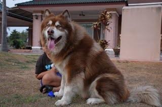 หมาพันธุ์ใหญ่ยอดนิยม1