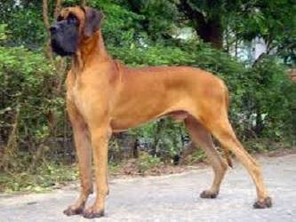 หมาพันธุ์ใหญ่ยอดนิยม3