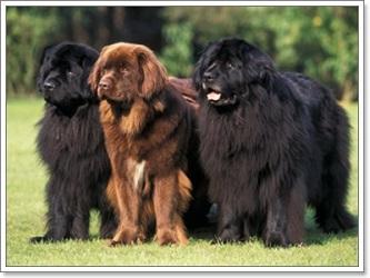 หมาพันธุ์ใหญ่ยอดนิยม4