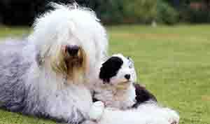 สุนัขพันธุ์ผู้ดีอังกฤษ