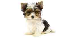 สุนัขพันธุ์เล็กราคาแพง