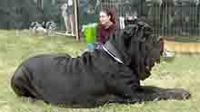สุนัขใหญ่น่าเลี้ยง