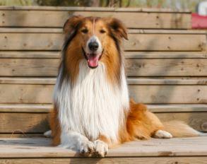 สุนัขขนยาว