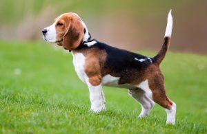 สุนัขพันธุ์เล็กขนสั้น