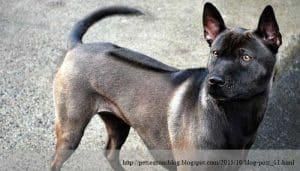 สุนัขสายพันธุ์ไทย