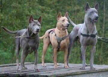 สุนัขพันธ์ไทยหลังอาน