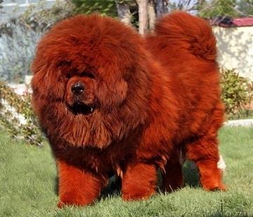 สุนัขใหญ่ราคาแพง