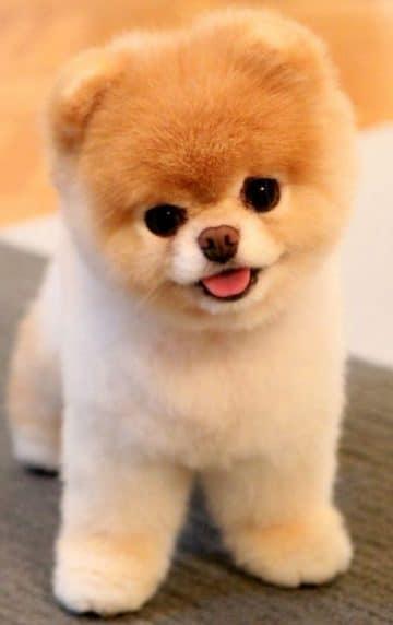 สายพันธุ์สุนัขเล็ก